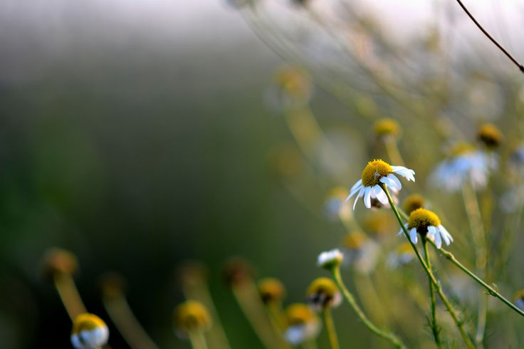 Bokehy wild camomile by Bogdan  on 500px