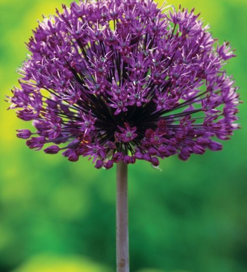 Allium purple sensation, 90cm, May to June
