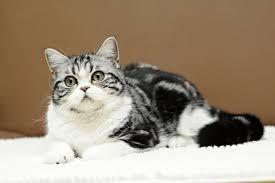 Výsledek obrázku pro britská kočka