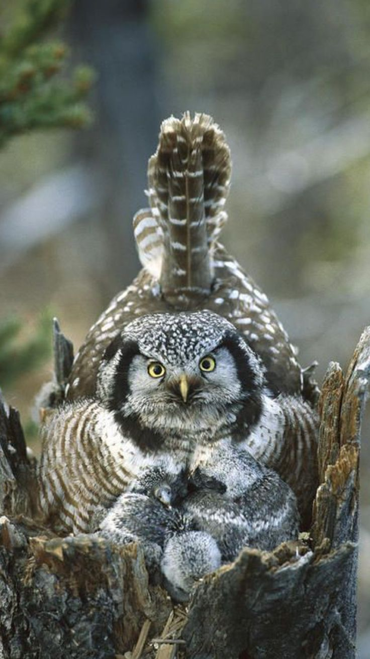 Hawk Owl with owlets