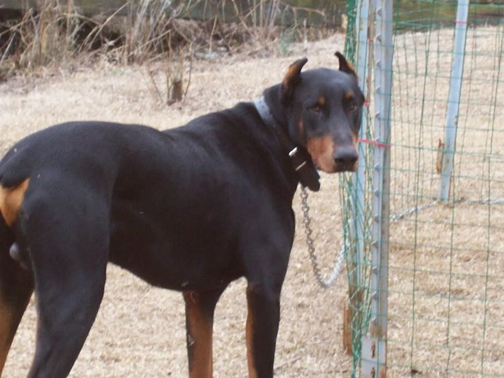 warlock doberman pinscher 18 - photo #7