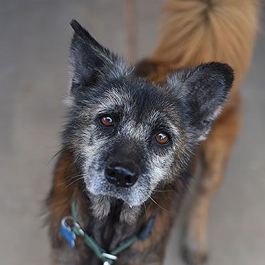 Meet Forte! This sassy girl doesn't know she's a senior and loves to show both people and other dogs that she's truly young at heart. Her favorite activities are going for walks, lounging in the sun, getting butt scratches, and snuggling in blankets (who doesn't?). Forte is also good with other dogs and likes to make sure her canine pals follow the rules.    As our Featured Adoptable Pet, Forte flies home anywhere in the U.S. or Canada for free!