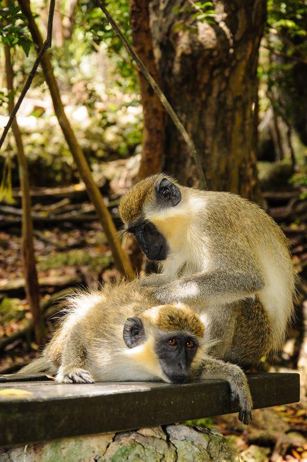 Green Monkeys in Barbados!