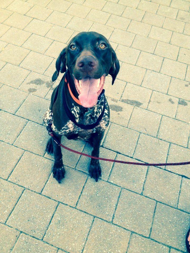 German shorthaired pointer dog for adoption in oak ridge