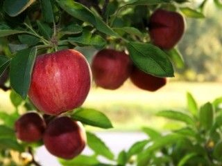 You cant beat a good Irish apple - and we have them from August 'til June. Buy apples in season from our market stall or direct from our orchard.