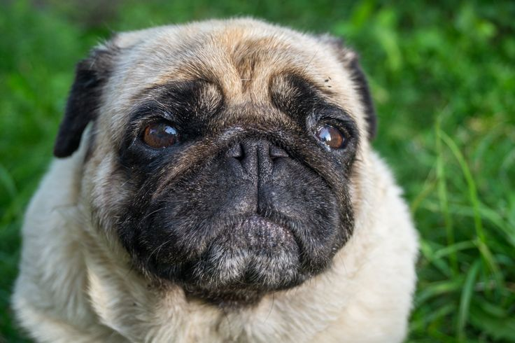 Mops / Pug called Nela - taken with Sony SLT-A58