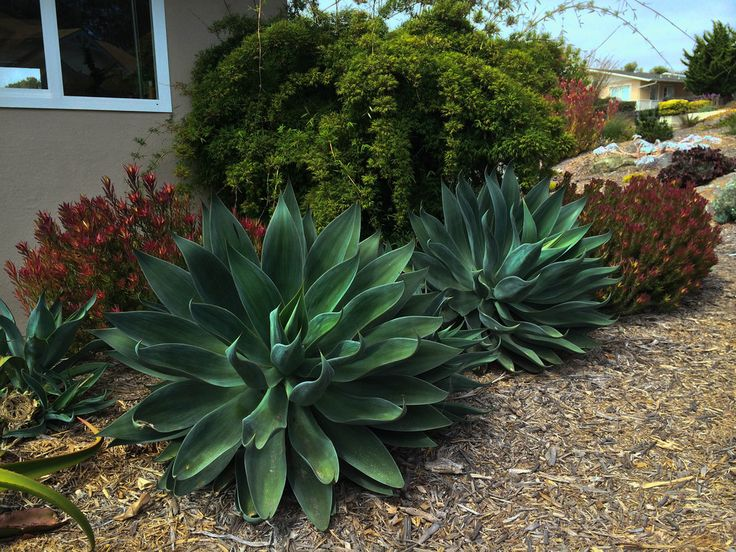 Agave Blue Flame Yahoo Image Search Results Tropi