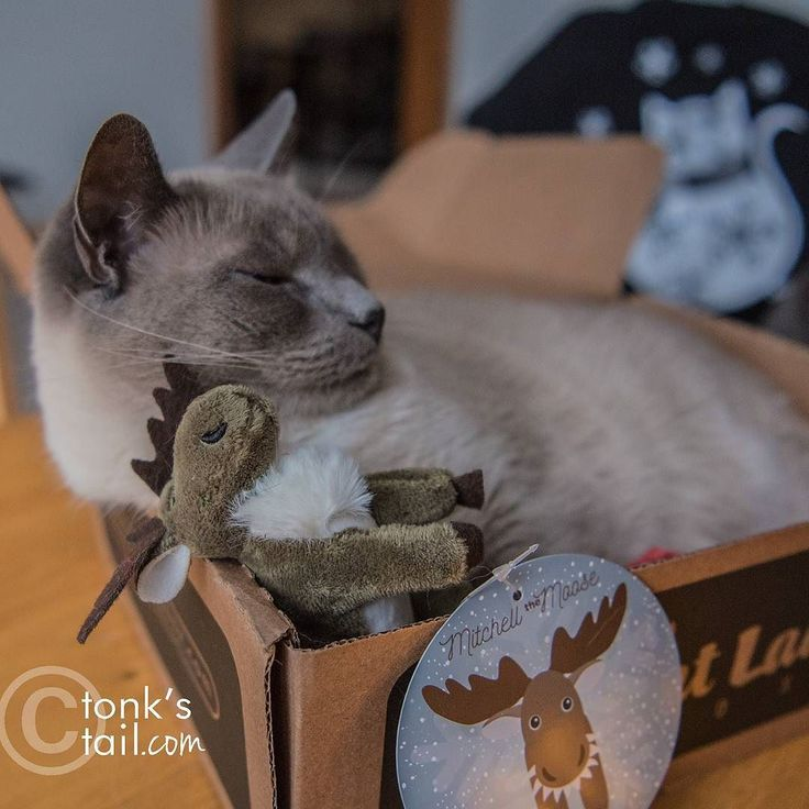 Just a cat. Hanging out with his moose. #catsofinstagram #siamesecat #catsinboxes