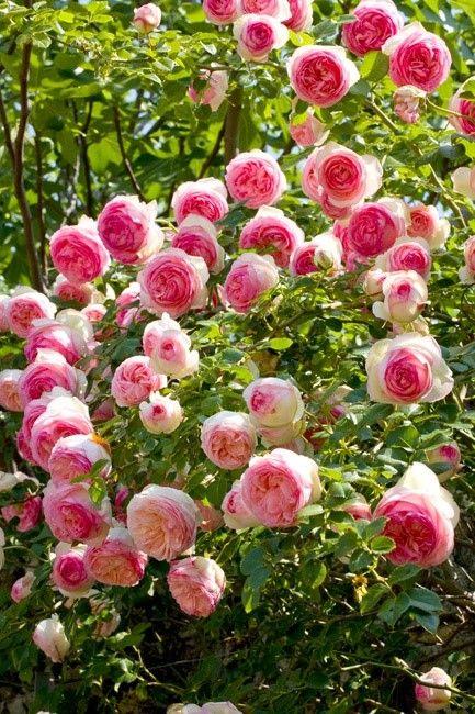 MEILLAND - pierre de ronsard rose / eden rose