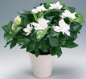 Gardenie - kwiatowa arystokracja