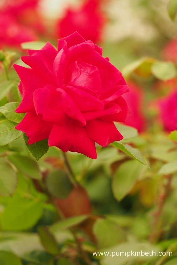 The winner of The Rose of the Year 2018 Competition is Rosa 'Lovestruck'!