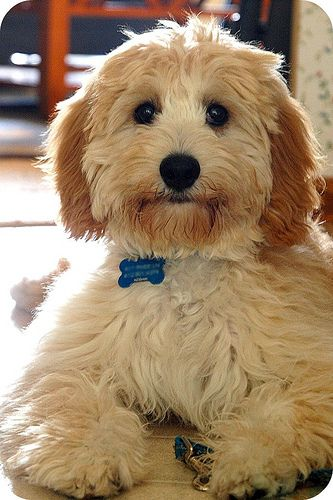 If I ever get another dog, it will be a Cavapoo.  Big eyes, good for allergy prone people, and good natured.