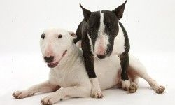 What Is A Bull Terrier  #BullTerrier #TheBreed