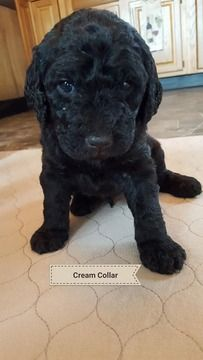 Litter of 8 Labradoodle puppies for sale in WABASH, IN. ADN-58448 on PuppyFinder.com Gender: Male. Age: 5 Weeks Old