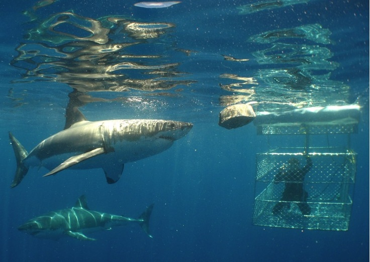 Great White Shark Cage Dive