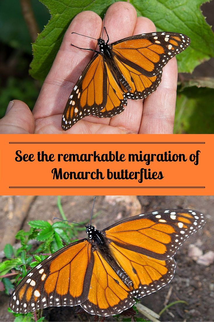 MEXICO | Thousands upon thousands of fiery-colored Monarch butterflies flit about - they even swirl about your face! In Mexico, you can hike (or ride a little horse) up to a butterfly sanctuary in the mountains, near Morelia, to witness the remarkable migration of Monarch butterflies ~   http://www.sandinmysuitcase.com/remarkable-flight-monarch-butterflies/