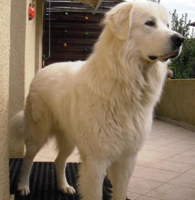 Montagne des Pyrénées - Chien de montagne des Pyrénées - L'avis du vétérinaire - Choisir son chien
