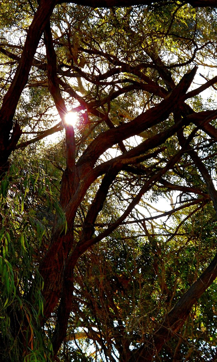 Sun through twisting branches, Lake Cathie
