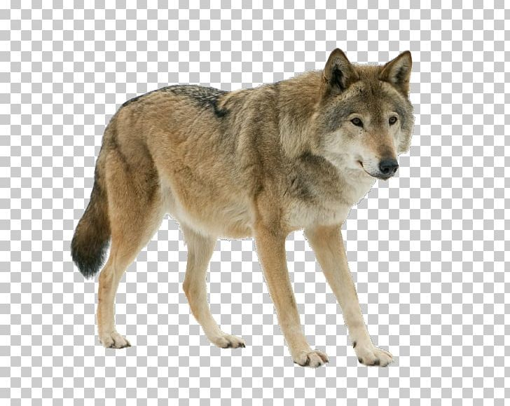 Dog Arctic Wolf Eurasian Wolf Stock Photography Iberian Wolf Png Clipart Animals Arctic Wolf Canidae Canis Carnivoran Free Eurasian Wolf Arctic Wolf Wolf