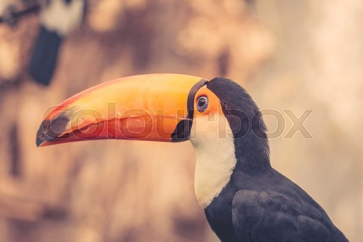 Stock image of 'Toco bird with a big colorful beak'