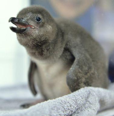 気候変動で赤ちゃんペンギン大量死、研究 写真1枚 国際ニュース:AFPBB News