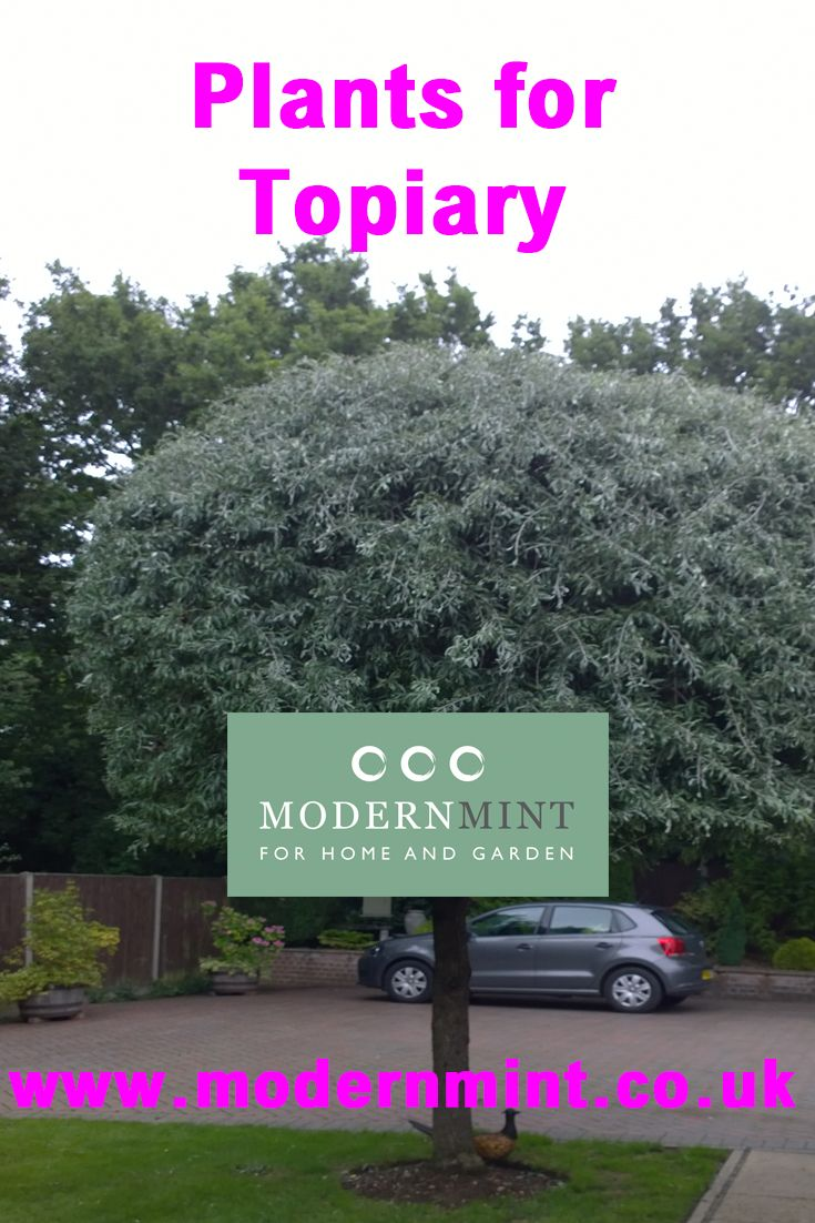 Want to know the best plants to use for topiary? Here is the common palette, and included are a few trees that love to be pollarded, or espaliered, or can take being cut to the ground or have their leaves stripped from the stem…not all of these plants will give you the classic topiary forms, but they may be worth experimenting on and discovering how they can be pruned and what impression they leave you with when they are! Click here to read more or pin to save a read later!