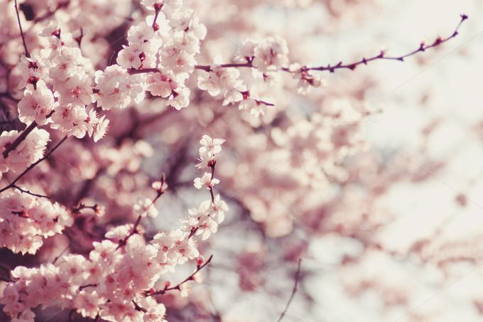 Check out Pink cherry flowers blossom by odpium on Creative Market