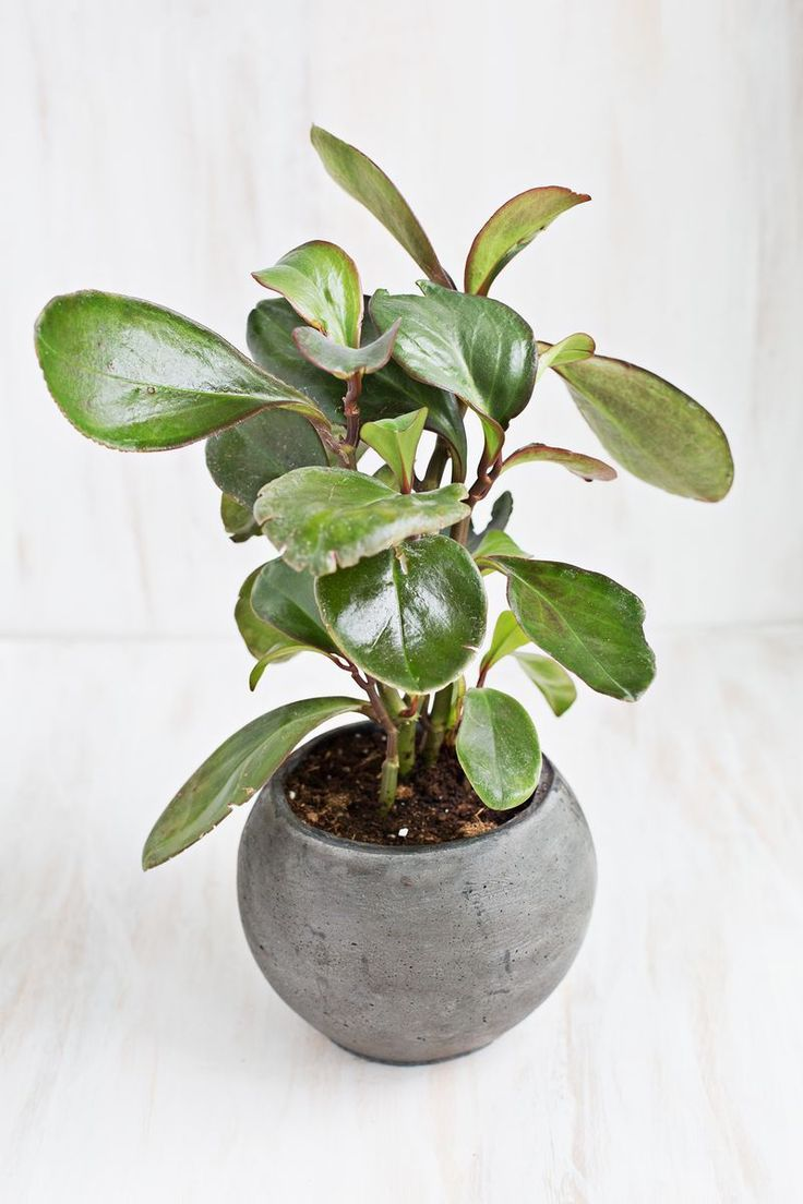 7 Unique Non-Toxic Houseplants - Baby Rubber Plant (also called peperomia) #