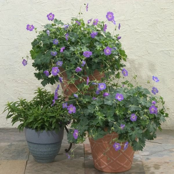 container gardening with Geranium Rozanne
