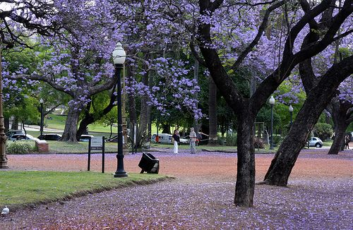 Jacarandá en Plaza Francia-Buenos Aires.