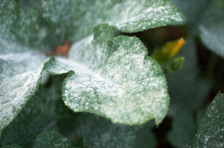 Powdery mildew is a fungus that plagues almost all gardeners. Finding a cure for powdery mildew is something that all gardeners look for eventually. This article can help with that.