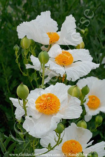 Romneya coulteri (Coulter's Matilija poppy) shrub native to southern California. LOVE THIS ONE!