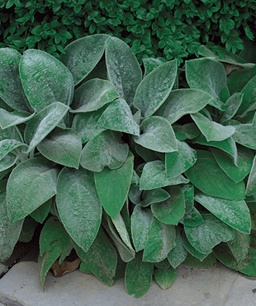 lambs ear (and other perenials) for the edge
