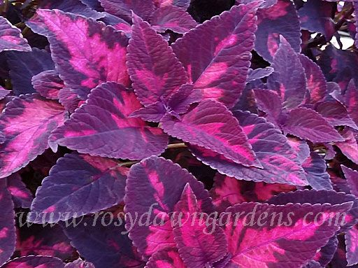 933 Best Images About 168 184 184 Coleus Amp Hostas