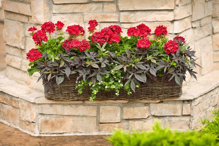 Vysádzame balkón a terasu | Kvety a Záhrada 1- Muškát vzpriamený (Pelargonium zonale) 2- Povojník batátový (Ipomoea batatas) 3 –Bacopa White Táto výsadba je skôr vhodná do záhrady alebo na balkón,  v ktorých je menej moderných prvkov a viac prírodných materiálov. Klasické muškáty sú ešte stále na výslní  a vyniknú pri svetlej stene alebo plote.