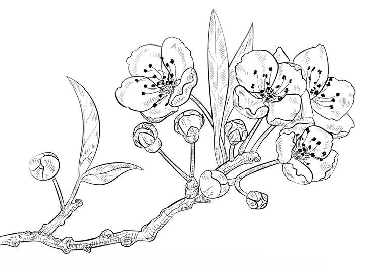 kirschblüten malvorlage   blumen zeichnung