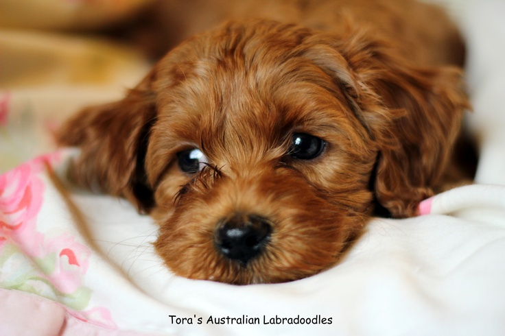 Beautiful Red miniature Australian Labradoodle puppie
