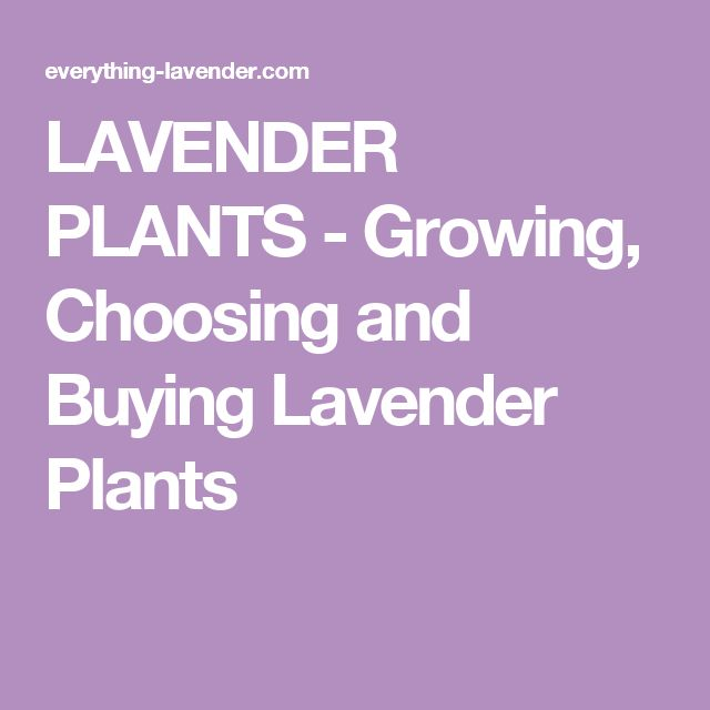 LAVENDER PLANTS - Growing, Choosing and Buying Lavender Plants