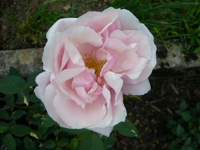 Simple Historische Rosen Seite Rund um die Rose Mein sch ner Garten online