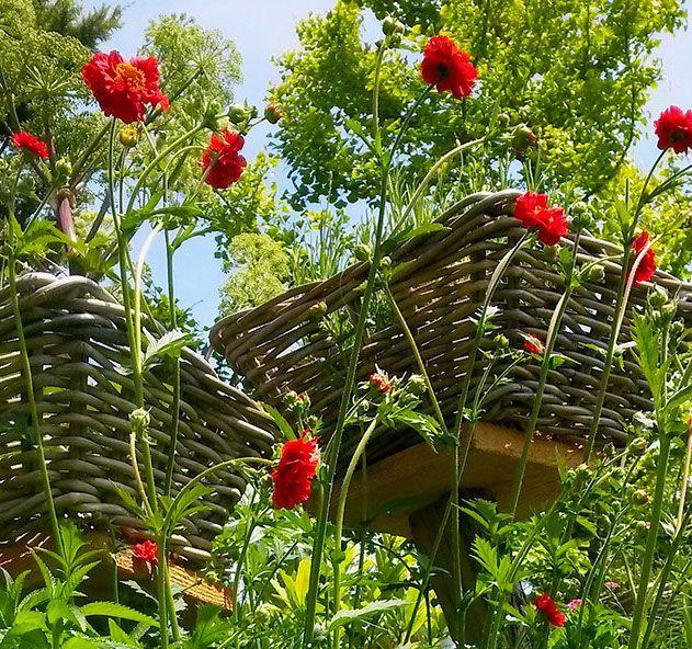 "Potentilla Mr Bradway ""Les Jardins des Hurlevents "" http://www.plantes-vivaces-hurlevents.com/"