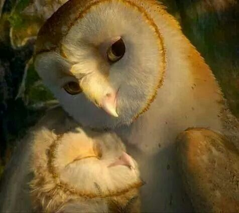 Mom and baby Barn Owl? | Owl book reference | Pinterest