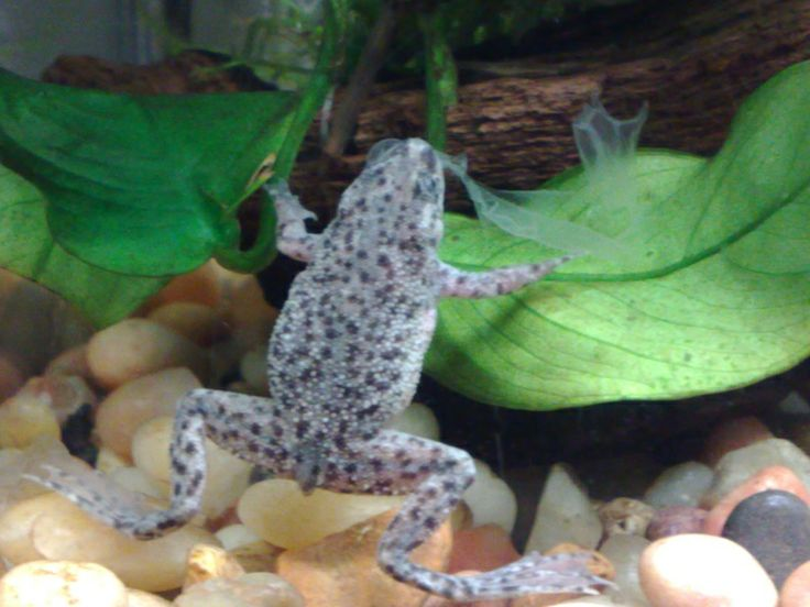 African dwarf frog ours lives with platys a guarami and for Fish tank frogs