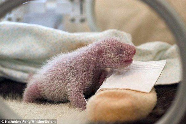 Медведи рождаются совсем крошками