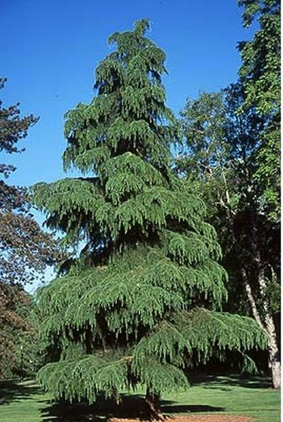 Deodara Cedar Trees Have A Most Unusual Cone That Looks
