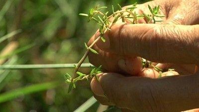 Horrorplant tiert welig in Haren. Alle hens aan dek in de gemeente Haren. De gevreesde Australische Watercrassula is daar ontdekt. De horrorplant is volgens deskundigen nog erger dan de Grote Waternavel, die ervoor zorgt dat hele sloten dichtgroeien.