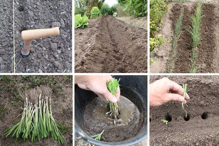 Les poireaux : semer, planter, cultiver, récolter | Cultiver, Planter des poireaux, Jardin de ...