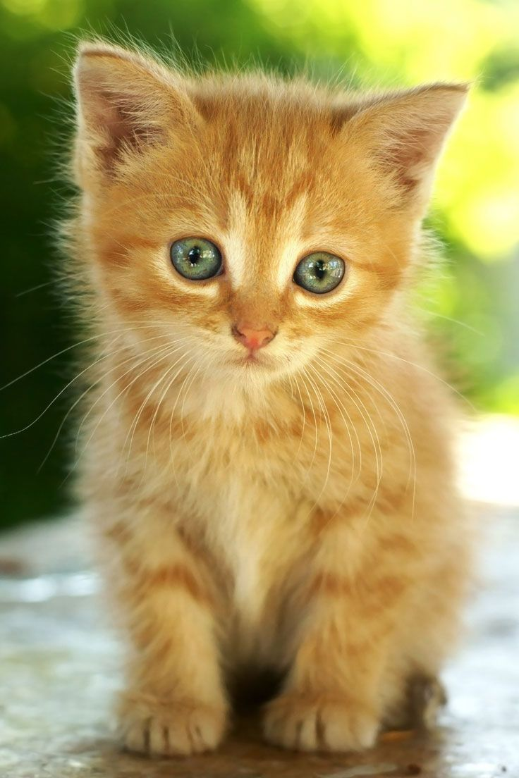 Orange Kitten Dogs and Cats! Pinterest Orange