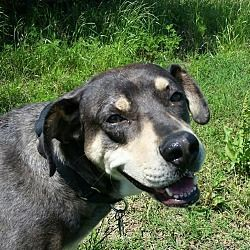 Pictures of Woodsie a 6 yr. old female Rottweiler/Catahoula Leopard Dog for adoption at Sacred Paws Dog Rescue, Van Alstyne, TX who needs a loving home. Woodside loves playing with other large dogs & helping her foster mom with the horses at the ranch. She would probably do well in dog agility training.