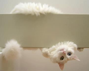 Peek-a-Boo!: Funny Kitty,  Maltese Terriers, Malt Terriers, Maltese Dogs, Malt Dogs, Alice In Wonderland, Crazy Cat, White Cat, Baby Cat