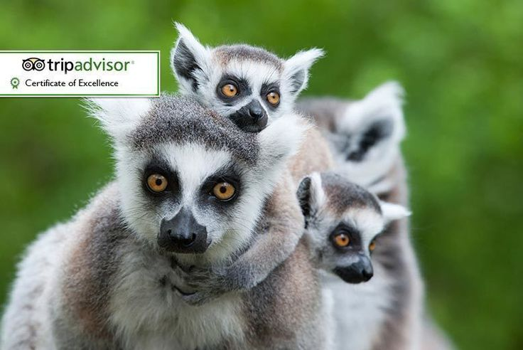 Discount Animal Keeper Experience for 2 @ Hoo Farm for just £59.00 Embrace your inner Attenborough with an animal keeper experience.  Start your half-day experience getting to know lemurs and meerkats, then meet birds of prey and reptiles.   Learn fun facts from an experienced keeper in groups of up to eight.  Winner of a TripAdvisor Certificate of Excellence.  Experience runs from 10am to 1pm.  Based near Telford. BUY NOW for just £59.00